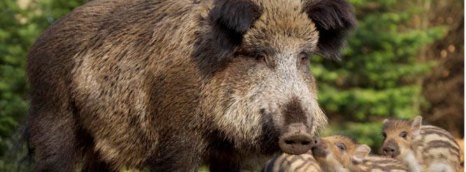 Wildschwein-Bache mit Frischlingen