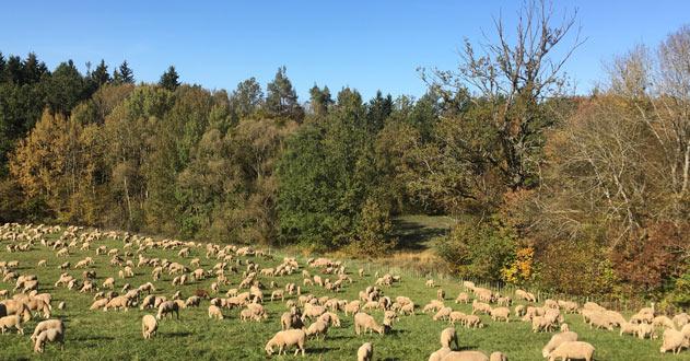 Herbst im Hirschland mit Schafen