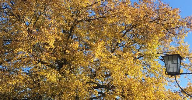 Herbstliche Linde beim Rathaus