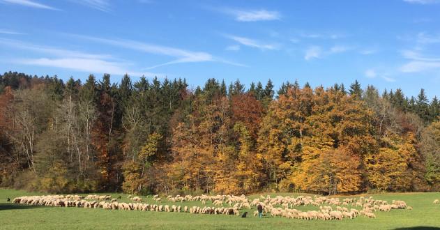 Herbst im Hirschladen mit Schafherde